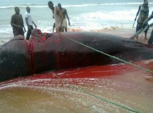 See How Hungry Locals Butchered Whale In Ilaje, Ondo