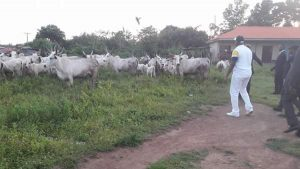 Governor Fayose Arrests Cows In Ekiti [PHOTOS]