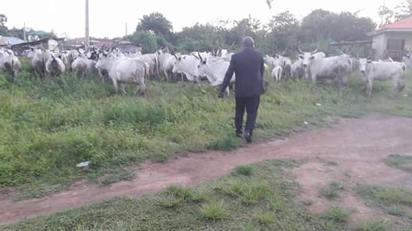 fayose-arrests-cows